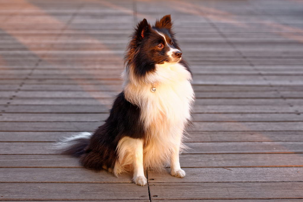 Sheepdog in evening sun by llee_wu licensed under Creative commons 6
