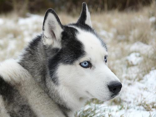 injun snow dog by jack berry cc4