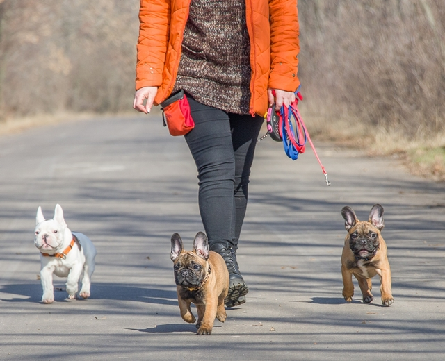 french bulldogs getting a walk