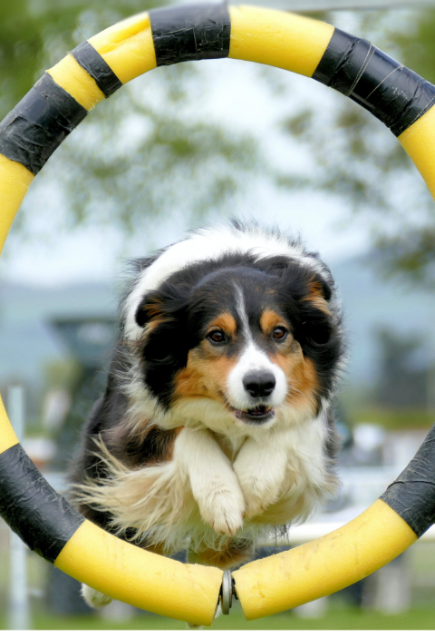 Are You ready to Enter the Olympics: Dog jumping though an agility hoop