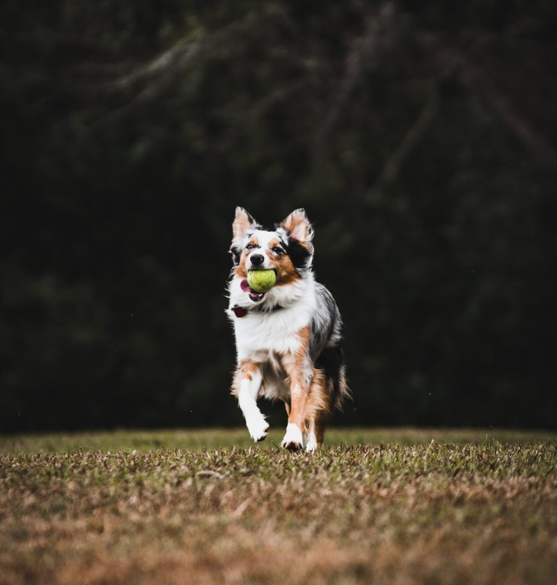 sports to play with your dog, dog and tennis ball