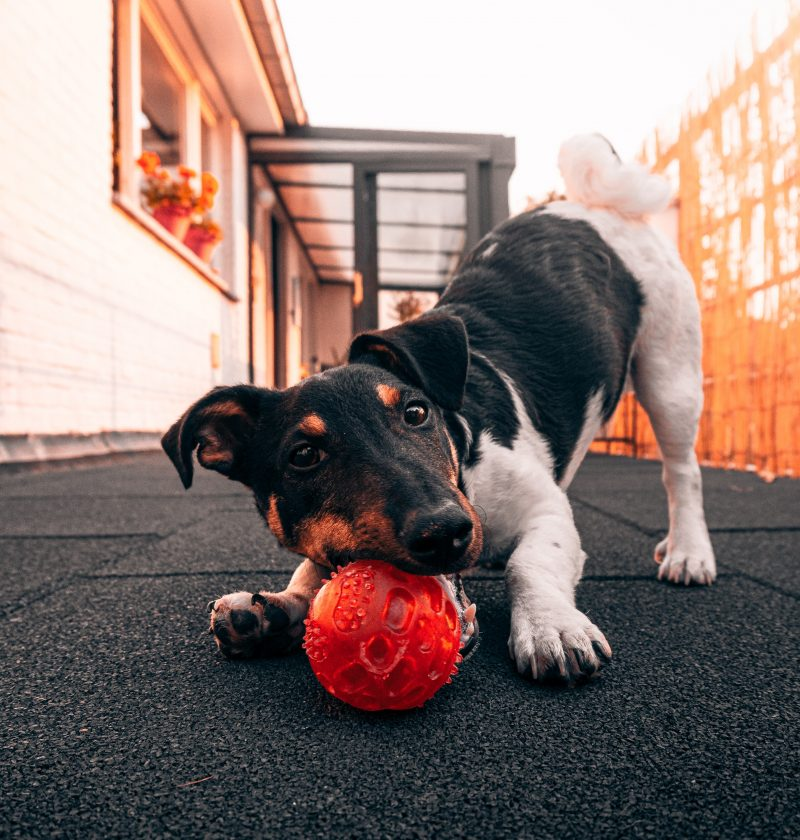 why play is important for dogs feature photo of a jack Russell playing with a ball