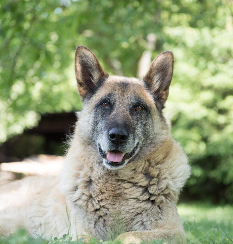 senior dog on a senior dog food diet lying in the grass