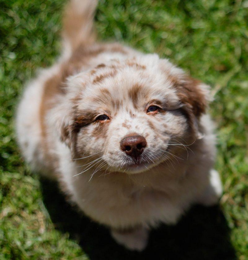raw feeding for puppies